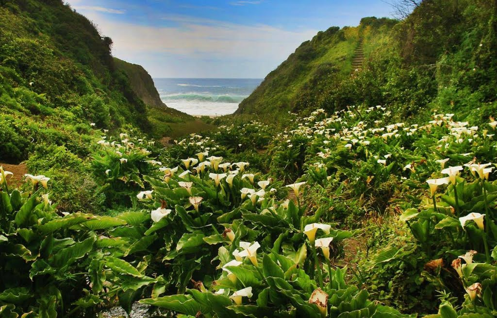 Hike to the majestic Calla Lily Trail in Big Sur! To witness the beauty of these blooms you must make it into the small time slot when they're blooming.